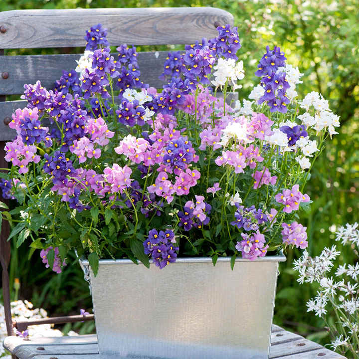 Nemesia Plants - Poetry