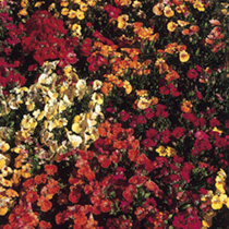 Nemesia Seeds - Carnival