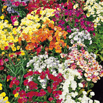Nemesia Seeds - Tapestry Mixed