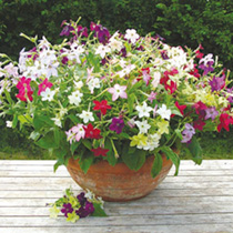 Nicotiana Seeds - Sensation Mixed