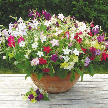Scented Bedding Plants - Collection