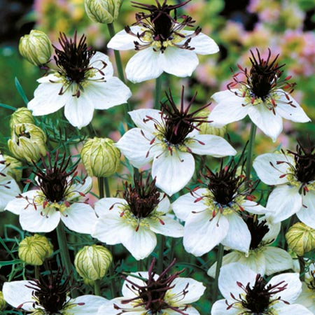 Nigella Choc Ice Plants Pack of 18 Pot Ready Plants (value tray)