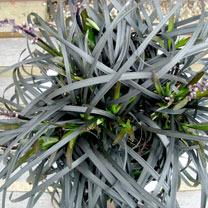 Ophiopgon Plant - Black Beard
