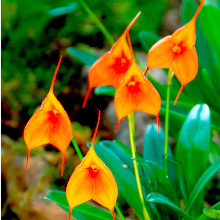 Masdevallia Orchid Plant