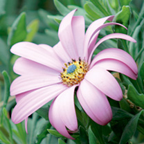 Osteospermum Plant - Purple Power
