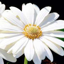 Osteospermum Plant - Snow Pixie