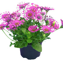 Osteospermum Plant - Purple Spoon