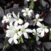 Oxalis Plant - Black Velvet