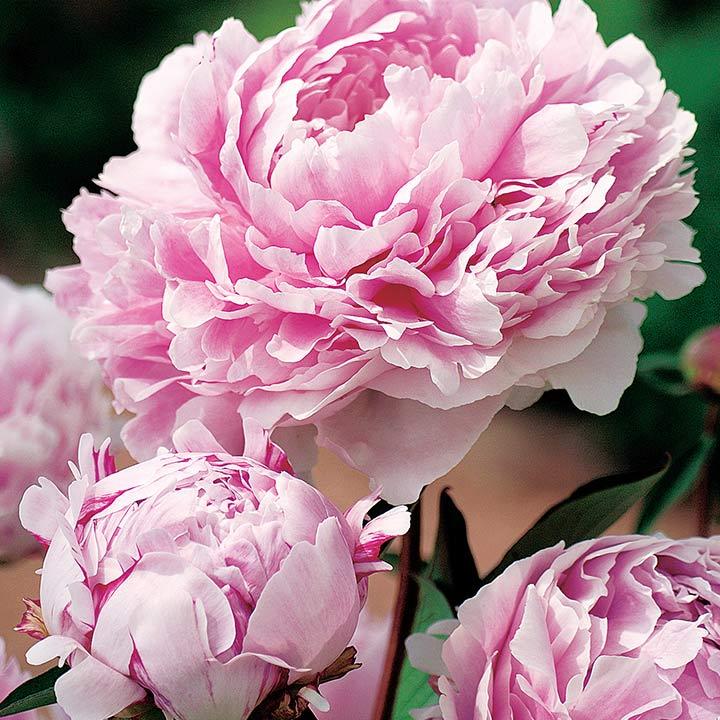 Peony Plant - Sarah Bernhardt