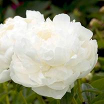 Peony Elsa Sass Plant (Paeonia lactiflora)