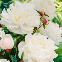 Paeonia Plants - Collection