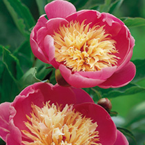 Paeonia Plant - Bowl of Beauty