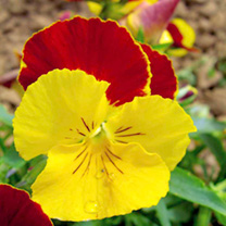 Bestselling Pansy Gold and Ruby Seeds