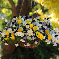 Pansy Plants - Cool Wave