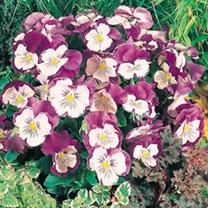 Pansy Plants - Cats Purple & White