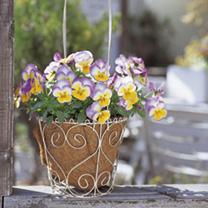 Pansy Plants - Radiance Lilac
