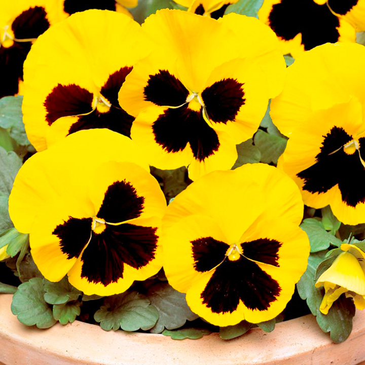 Pansy Plants - Yellow Blotch