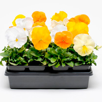 Pansy Plants - Ctirus Mix