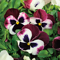 Pansy Plants - Raspberry Sundae Mix