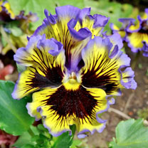Pansy Seeds - Frizzle Sizzle Mixed F1