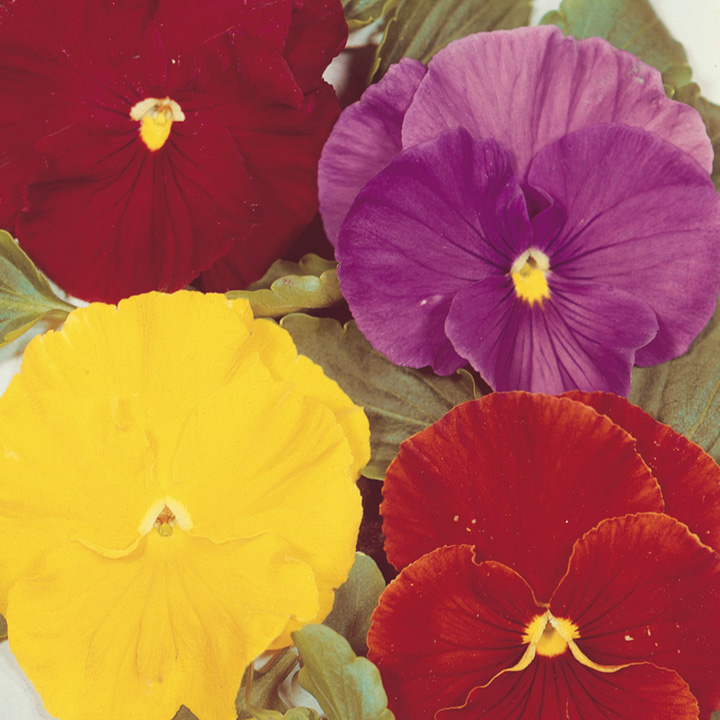 Pansy Seeds - Gay Jesters Mixed