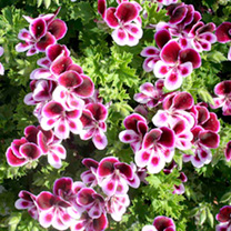 Pelargonium Plants - Angels Perfume