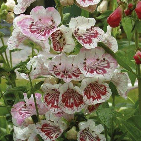 Penstemon Plant - Strawberry & Cream