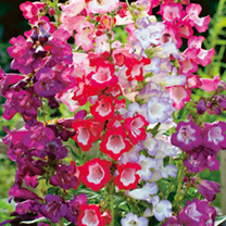 Penstemon Seeds - Sensation Mixed