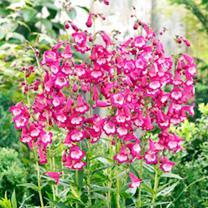 Penstemon Plants - Collection