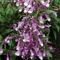 Penstemon Plants - Prairie Twilight Offer