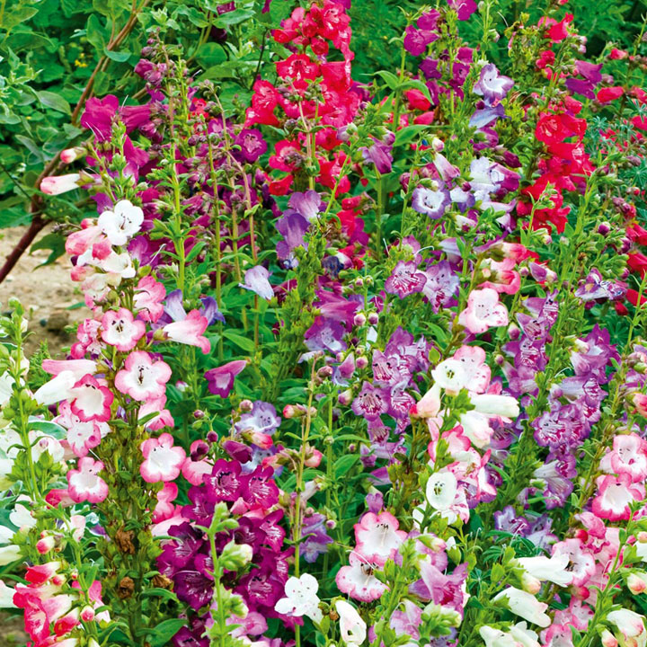 Penstemon Cobaea Plants - Wedding Bells