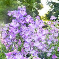 Penstemon Plant - Cha Cha Lavender