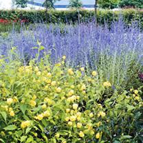 Perovskia Plants - Taiga