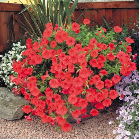 Surfinia Plant - Large-flowered Red