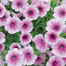Petunia Surfinia Plants - ROSE VEIN