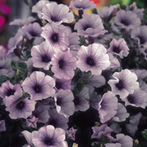 Petunia Surfinia Plants - BLUE VEIN