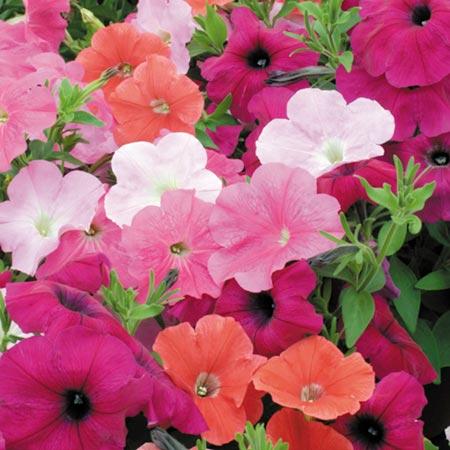 Petunia Ocean Mix F1 Seeds Average Seeds 25