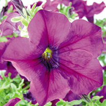 Petunia Surfinia Plants - BURGUNDY