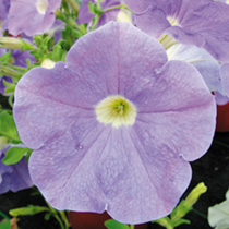 Petunia Surfinia Plants - SKY BLUE