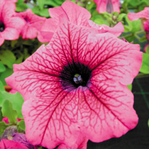 Petunia Surfinia Plants - HOT PINK