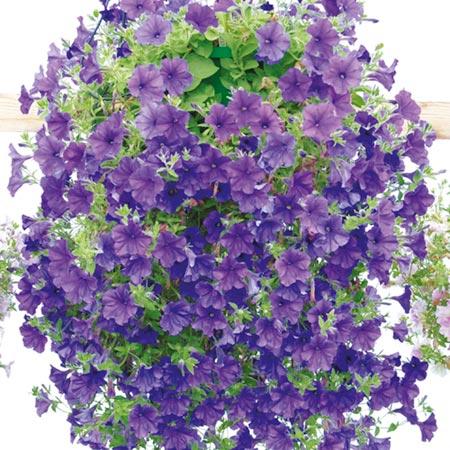 Petunia Plants - Surfinia Blue