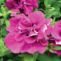 Petunia Surfinia Double Flowered Plants - PURPLE