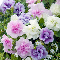 Petunia Plants - Tumbelina Fragrant Mix