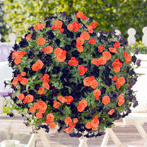 Petunia Plants - Black Satin and Papaya Twin Pack