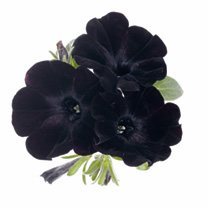 Petunia Plants - Black Satin