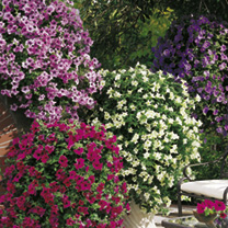 Petunia Surfinia Plants - Large Flowered Mix