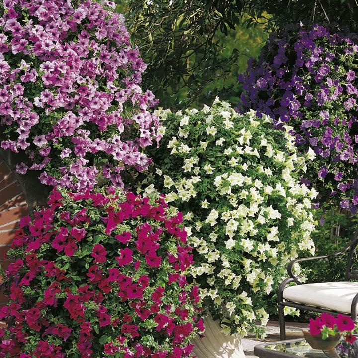 Petunia surfinia plants large flowered mix dobies for Petunia surfinia