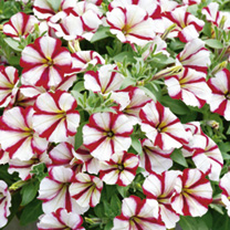 Petunia Plants - Crazytunia Cherry Cheesecake