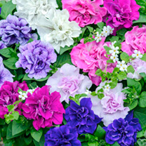 Petunia Plants - Surfinia Tumbelina Fragrant Mix