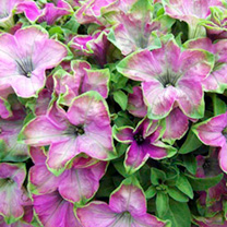 Petunia Plants - Kermit Rose